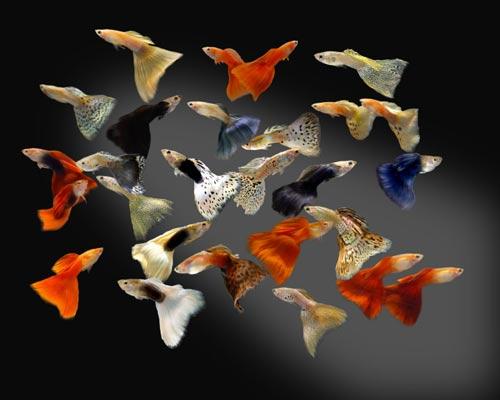 Продаж акваріумних рибок